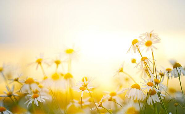 Orange sunlight shining over daisy's